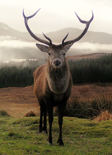 Highland Stag by Malcolm Murray. The celebrated 'Monarch of the Glen', the wild red deer stag is a Scottish icon. This species, the largest land mammal in Britain, is widespread throughout Scotland.