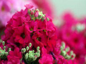 Un grupo de florecillas fucsias y brotes verdes