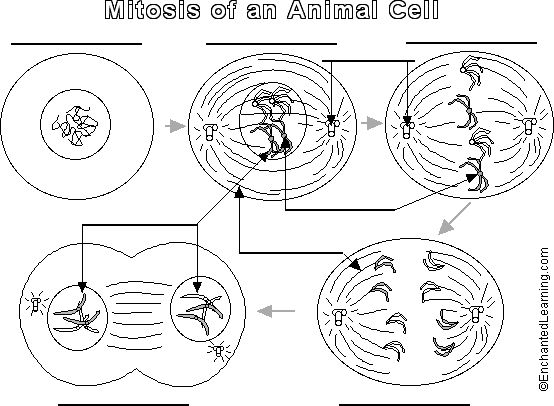 mitosis  animal cell and animals on pinterest