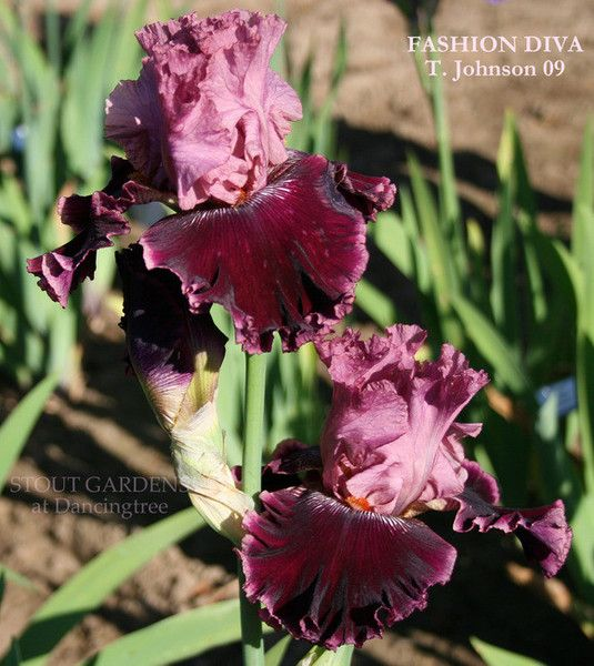 Iris Fashion Diva Stout Gardens At Dancingtree Iris Doodling Pinterest Gardens Irises