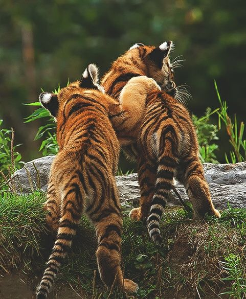 Animal Tiger And Tigers Afbeelding Cute Animals Animals