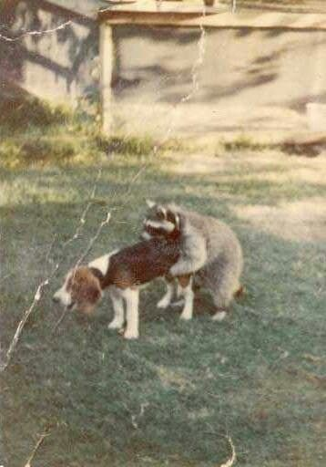 WTF! Raccoon and a dog.... ???