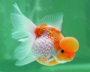 Pearscale goldfish raising and care the pearlscale for Koi fish eggs for sale