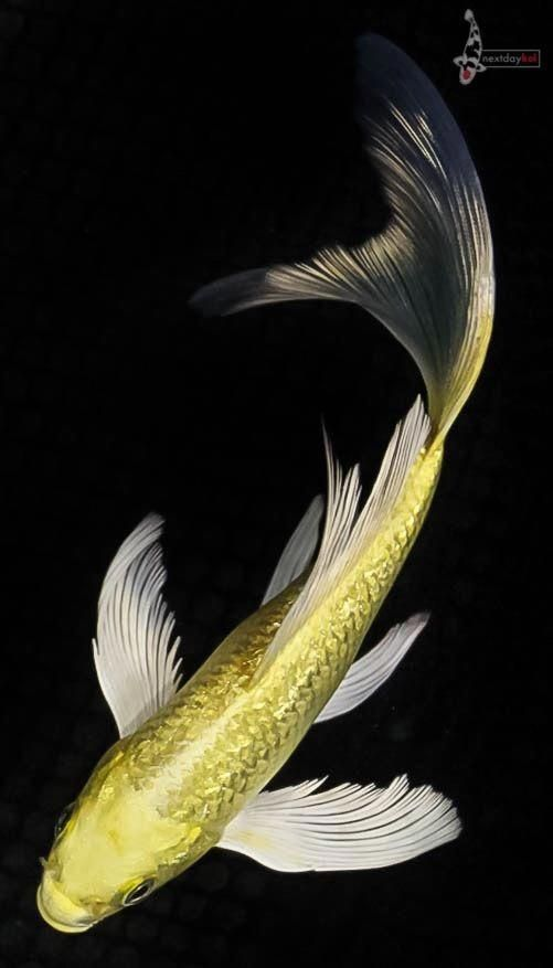 7 Gin Rin Yamabuki Ogon Imported Butterfly Koi Live Fish Nextdaykoi Ndk Koifishinformation Butterfly Koi Koi Fish Live Fish