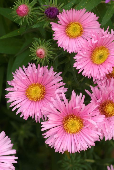 The Meaning Behind Popular Valentine S Day Flowers Flower Meanings Aster Flower Unusual Flowers