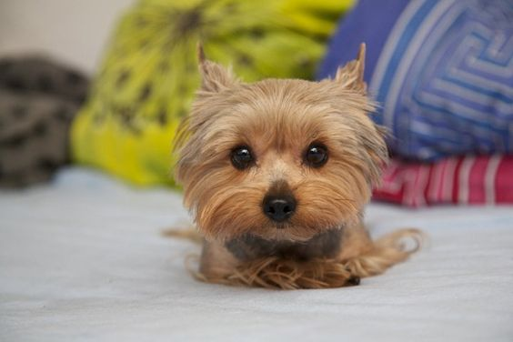 Yorkie caught red handed