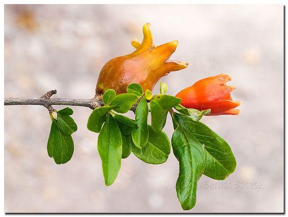 Flor y fruto de la Granada