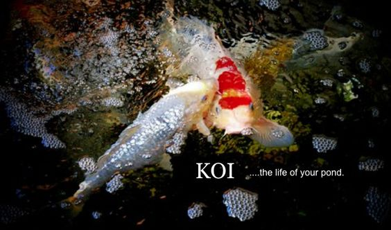 Koi and Waterlilies  www.lilypons.com