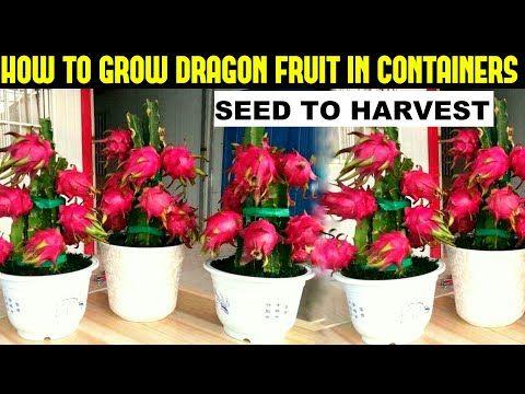 How To Grow Dragon Fruit Full Information Youtube In 2020 How To Grow Dragon Fruit Dragon Fruit Plant Dragon Fruit