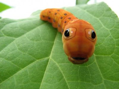Bugs that are as cute as puppies and kittens. Example: the big-eyed caterpillar.