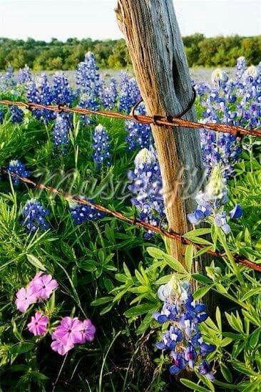 Weathered wood and rusty barbed wire fence in field of flowers: