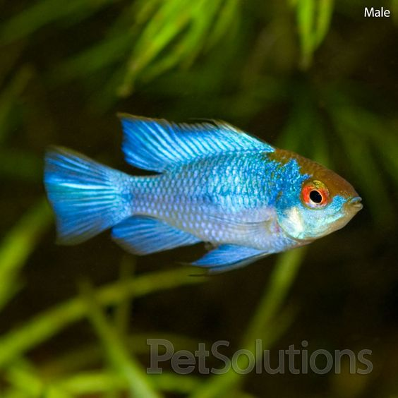 Electric Blue Cichlids And Electric On Pinterest