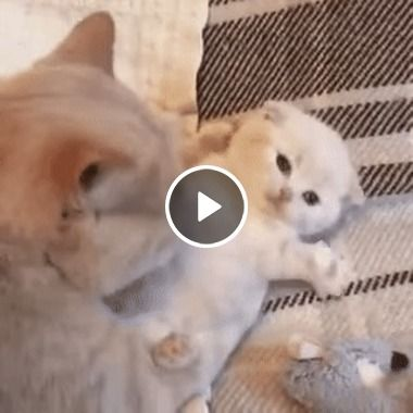 Mamãe gata fazendo cocegas em seu filhote