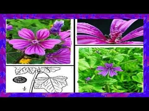 Para Que Sirve Y Como Utilizarlo La Suelda Consuelda Youtube Como Plantar Una Planta Malva Planta Plantas