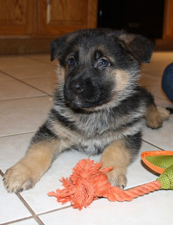 German Shepherd puppies - they just don't get much cuter than this!