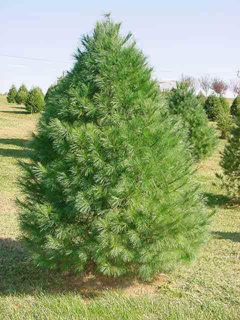 Eastern White Pine Tree White Pine Tree Eastern White Pine Types Of Evergreen Trees