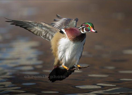 133ème édition des rencontres de l'American Ornithologists' Union et de la Cooper Ornithological Society du 28/07 au 02/08 à l'université de l'Oklahoma (Norman, Etats-Unis)  |  Photo de Peter Chromik (http://chromik.smugmug.com)