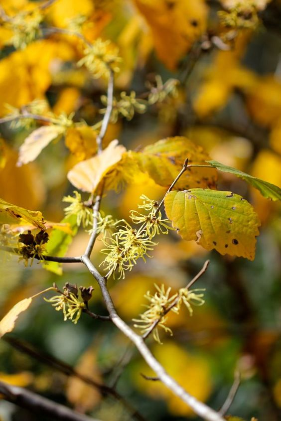 American Witch-hazel (Hamamelis virginiana) - gold foliage in fall... with strand-like flowers in Oct-Nov
