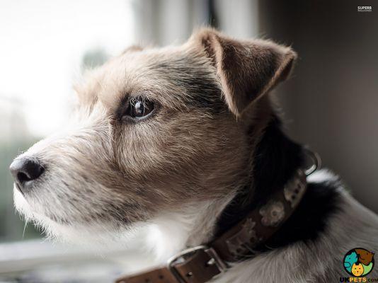 Parson Russell Terrier Dog Breeds Parson Russell Terrier Dog Breeds