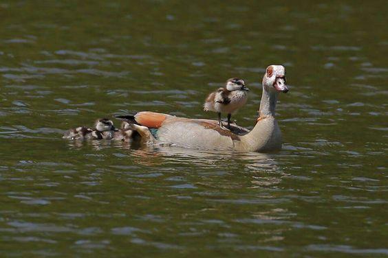 Quack...