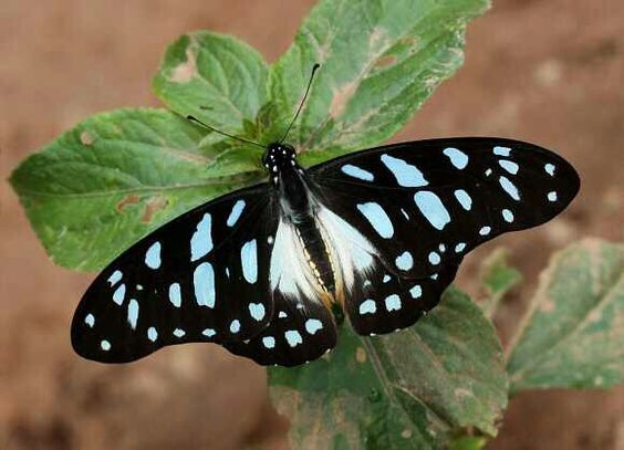 Graphium leonides   Photo from here: http://www.learnaboutbutterflies.com/Africa%20-%20Graphium%20leonidas.htm