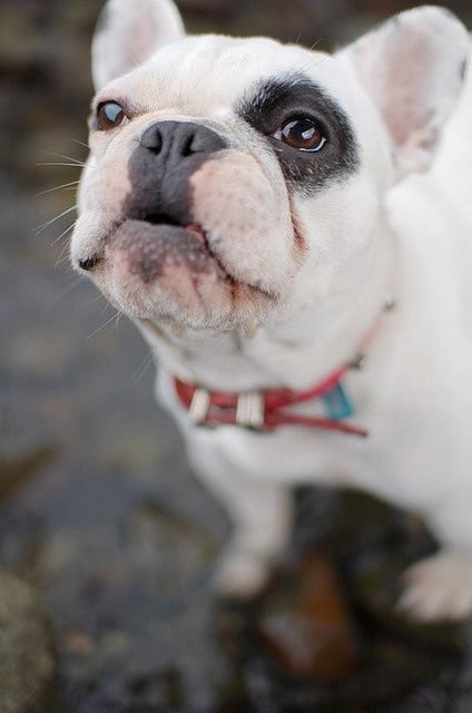 This Pin was discovered by Kim Hughes. Discover (and save!) your own Pins on Pinterest. | See more about french bulldogs, kisses and bulldogs.