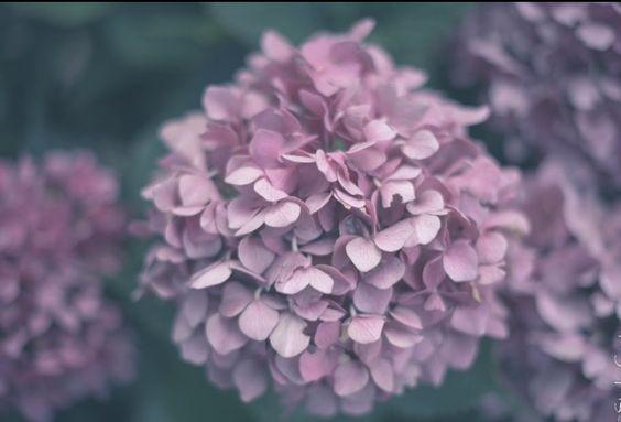 #flower #hortensia