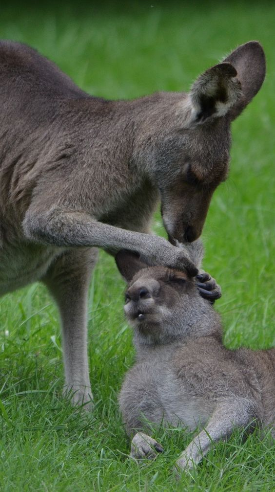 Kangaroo grooming. #Animals #Kangaroo #Grooming