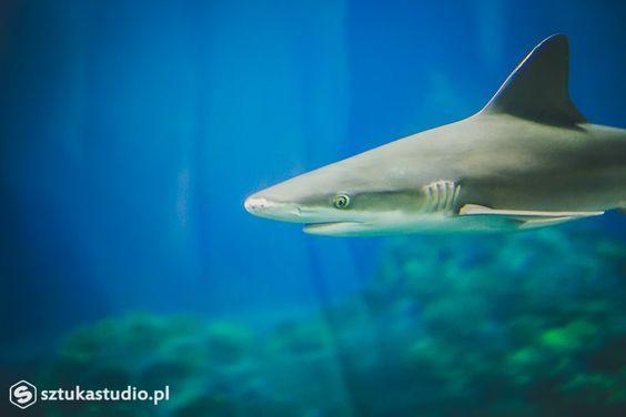 Niebezpieczny rekin szary. www.sztukastudio.pl fotografia ślubna, film, design, fotografia podwodna