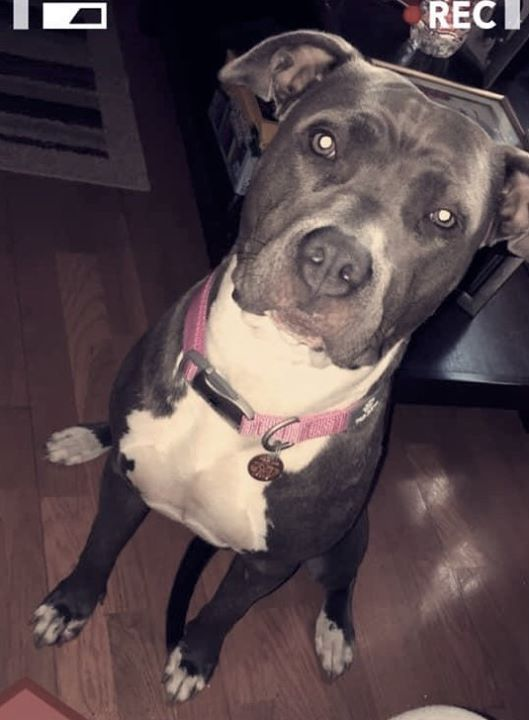Lost Dog Minneapolis American Staffordshire Terrier Female Date Lost 10 19 2019 Dog S Name Gelato Breed Of Dog Americ Losing A Dog Dog Ages Pink Collars