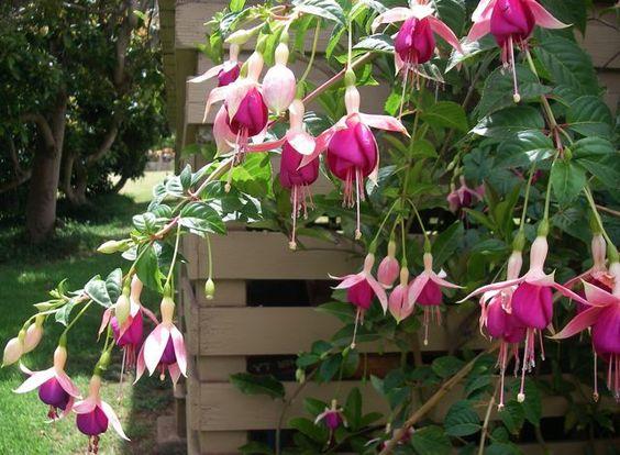 pink fuchsia flowers from Kula Maui