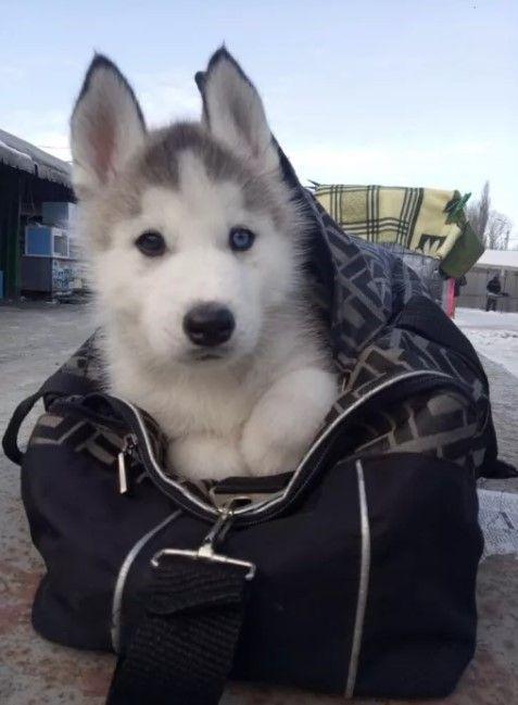 50 Female Siberian Husky Dog Names Siberian Husky Husky Dog