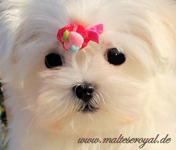 Malteser : Malteserwelpen,kleinbleibende... (Dohr) - Malteser - Deine-Tierwelt.de