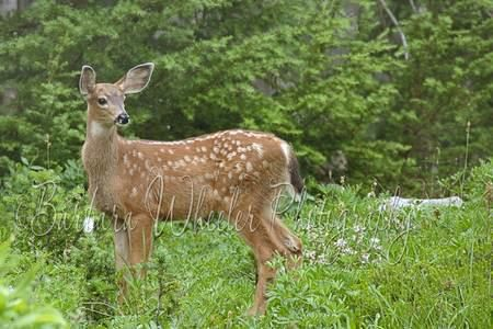 young black-tailed deer by Barbara Wheeler Photography