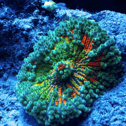 Pacsun Yuma Mushroom Soft Coral Frag Super Bright Teal And Yellow With Hints Of Red And Orange In Th Fresh Water Fish Tank Coral Reef Aquarium Saltwater Tank