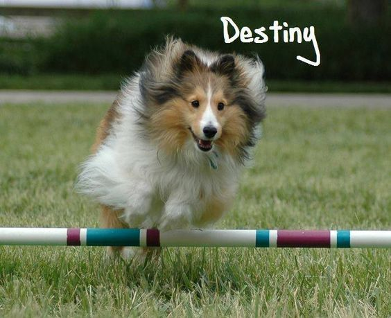 dogPACER is proud to introduce you Destiny!!! She is the winner of the National America's Next Dog Model photo contest for Sealy Dog Bed!!! As one of the main prizes Destiny will get a dogPACER treadmill!!! Congrats Destiny!!! We are excited to see you running on a dogPACER treadmill!!!:))