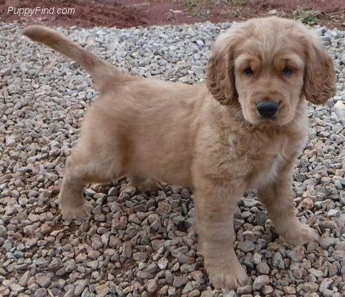 Paxton Golden Cocker Retriever Puppies For Sale Puppies