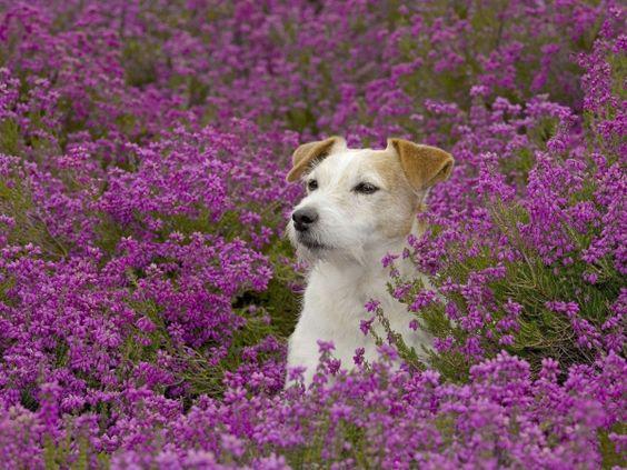 Dog in purple flowers hd wallpaper