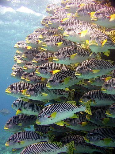 #sweetlips #shoal Great Barrier #Reef