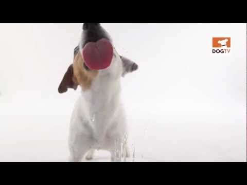 Dog Licking/Cleaning The Screen [DogTV]