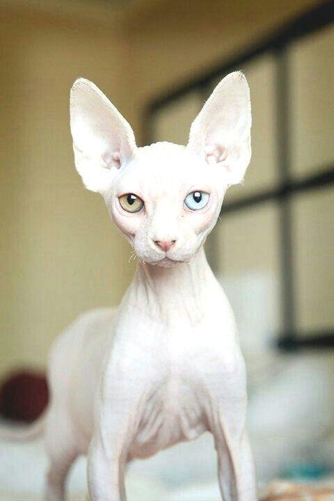 Catsfunnyhumorous Rare Cat Breeds Rare Cats Sphynx Kittens For Sale