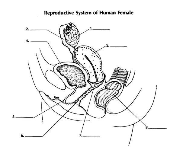Human Female Reproductive System Diagram Human Female Reproductive