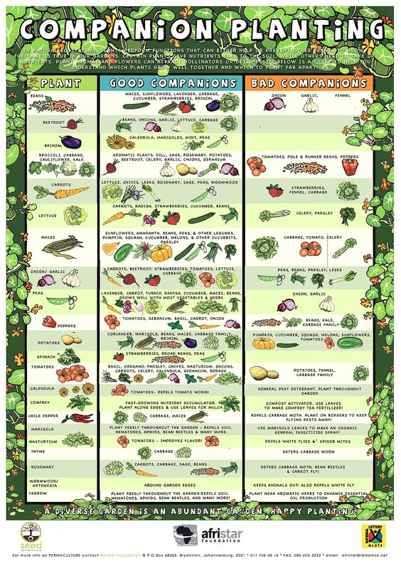 Companion Planting Guide Infograhic For Organic