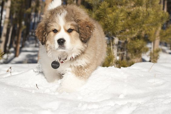 bernese mountain dog great pyrenees mix - Google Search