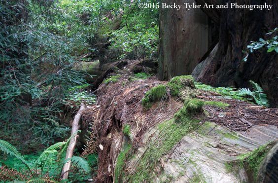Fallen Tree John Muir Woods California  Fine Art by BeckyTylerArt