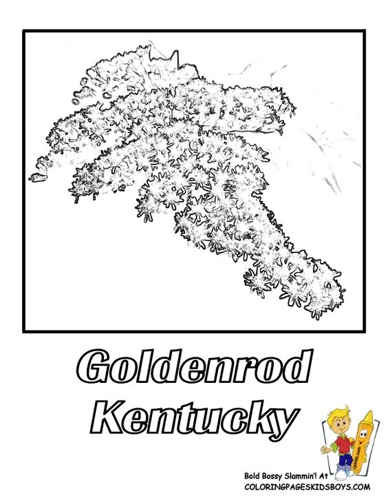 Kentucky State Flower Coloring Page Goldenrod USA