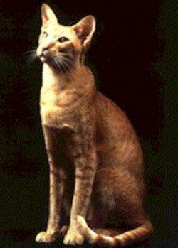 Oriental Longhair Cat - Bing images