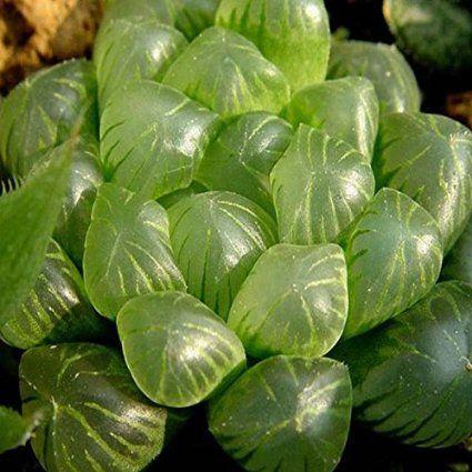 Amazon.com : 60pcs Haworthia Cooperi Seeds Garden Succulent Plants Potting : Patio, Lawn & Garden