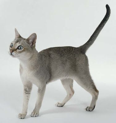 Singapura- Cat breed with an interesting history! One of the smallest cat breeds...