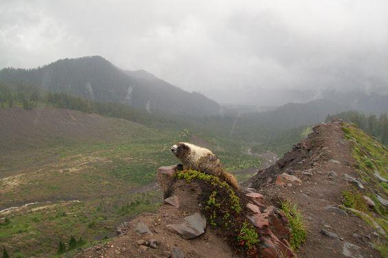 Mt Baker Snoqualmie National forest | marmot heaven  by Teresa Morris, Everson, WA
